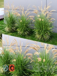 Ornamental grass Fountaingrass green