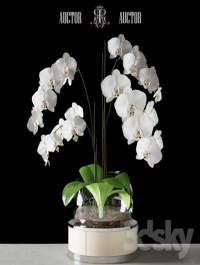 Orchid ART Auctor