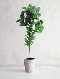 Ficus Lyrata Interior Plant