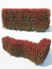 CgTrader Berberis Thunbergii Nr7 Atropurpurea Nana customizable hedge 3D model