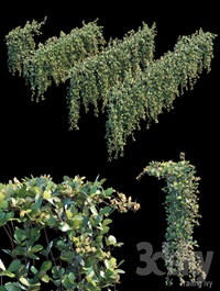 Trailing ivy 2