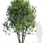 Laurus Nobilis Bay tree Grecian Laurel tree