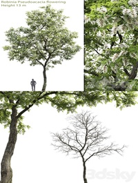 White Acacia Robinia Pseudoacacia 2