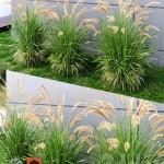 Ornamental grass Fountaingrass green