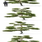 Pine Bonsai 1 (4.5m)