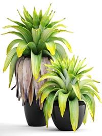 Tropical plant shrubs