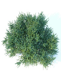 Large square bush