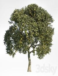 Pear Tree 8
