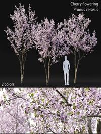 Prunus cerasus Cherry flowering 3
