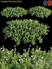 Arctostaphylos | Manzanita Emerald Carpet # 2