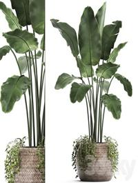Plant Collection 412 Banana