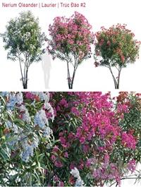 Nerium Oleander Laurier Trúc Đào # 2