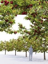 Malus fruit tree # 2